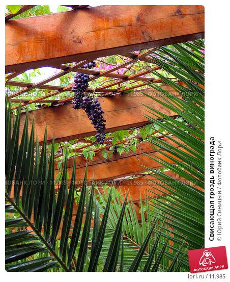 Свисающая гроздь винограда, фото № 11985, снято 28 сентября 2006 г. (c) Юрий Синицын / Фотобанк Лори