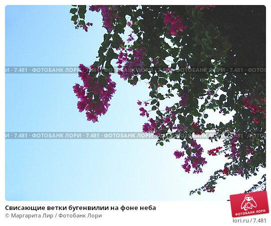 Купить «Свисающие ветки бугенвилии на фоне неба», фото № 7481, снято 4 июля 2006 г. (c) Маргарита Лир / Фотобанк Лори