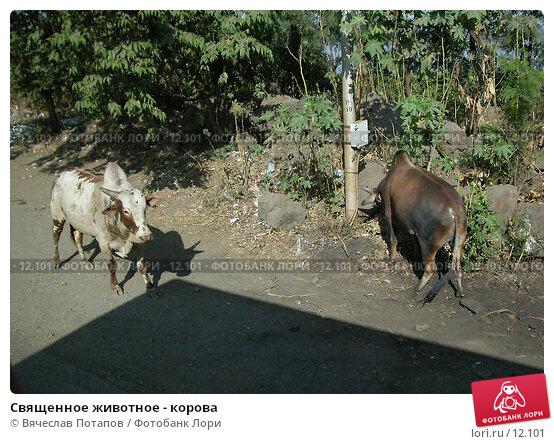 Священное животное - корова, фото № 12101, снято 6 декабря 2004 г. (c) Вячеслав Потапов / Фотобанк Лори
