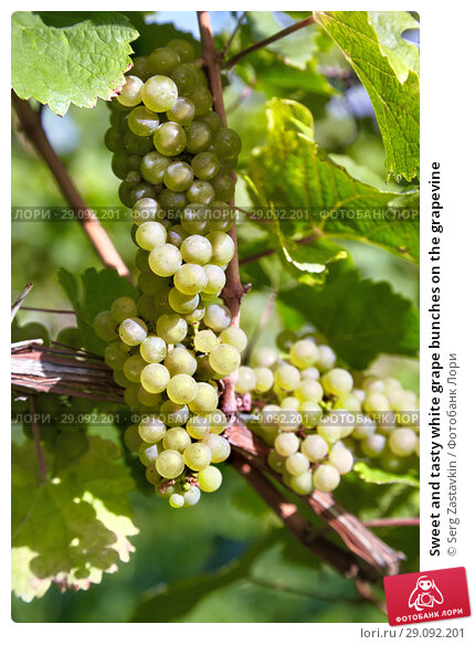 Купить «Sweet and tasty white grape bunches on the grapevine», фото № 29092201, снято 4 октября 2010 г. (c) Serg Zastavkin / Фотобанк Лори