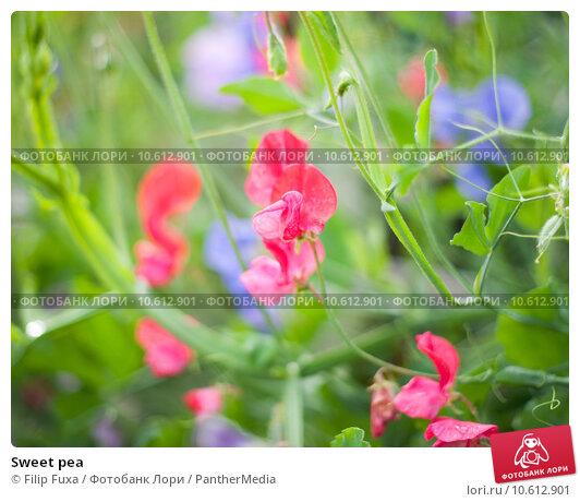 Sweet pea. Стоковое фото, фотограф Filip Fuxa / PantherMedia / Фотобанк Лори