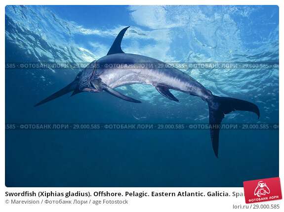 Купить «Swordfish (Xiphias gladius). Offshore. Pelagic. Eastern Atlantic. Galicia. Spain. Europe.», фото № 29000585, снято 17 октября 2017 г. (c) age Fotostock / Фотобанк Лори