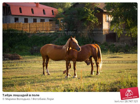 Купить «Табун лошадей в поле», фото № 28747121, снято 9 июня 2018 г. (c) Марина Володько / Фотобанк Лори