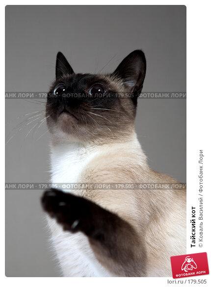 Тайский кот, фото № 179505, снято 24 декабря 2007 г. (c) Коваль Василий / Фотобанк Лори