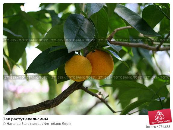 Так растут апельсины, фото № 271685, снято 3 мая 2008 г. (c) Наталья Белотелова / Фотобанк Лори