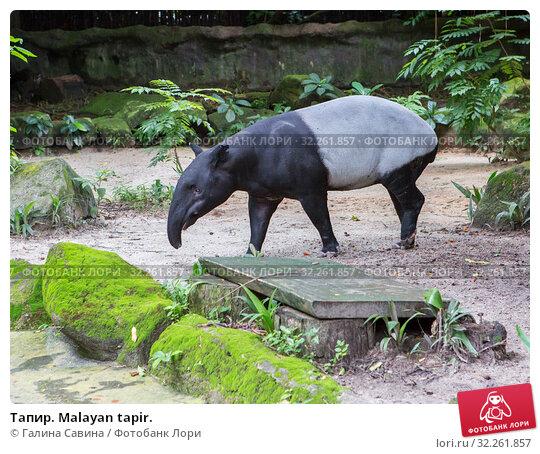 Купить «Тапир. Malayan tapir.», фото № 32261857, снято 20 января 2018 г. (c) Галина Савина / Фотобанк Лори