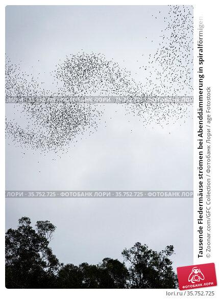 Tausende Fledermäuse strömen bei Abenddämmerung in spiralförmigen... Стоковое фото, фотограф Zoonar.com/GFC Collection / age Fotostock / Фотобанк Лори
