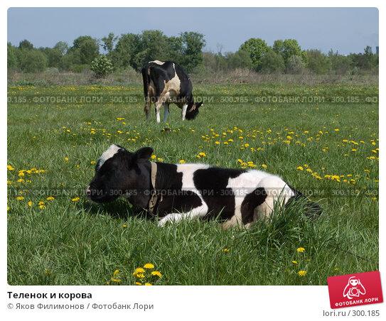 Теленок и корова, фото № 300185, снято 18 мая 2008 г. (c) Яков Филимонов / Фотобанк Лори