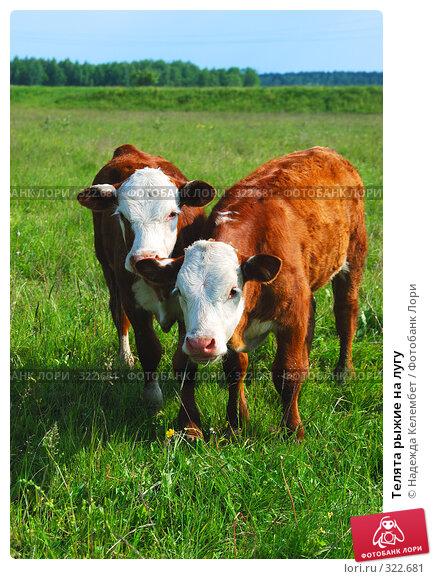 Телята рыжие на лугу, фото № 322681, снято 12 июня 2008 г. (c) Надежда Келембет / Фотобанк Лори