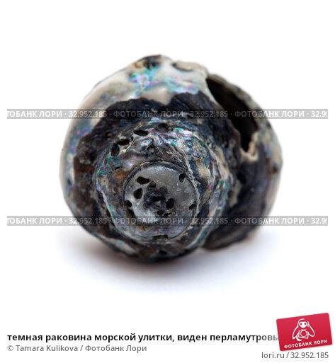 темная раковина морской улитки, виден перламутровый слой. Стоковое фото, фотограф Tamara Kulikova / Фотобанк Лори