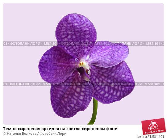 Темно-сиреневая орхидея на светло-сиреневом фоне, фото № 1581101, снято 14 марта 2010 г. (c) Наталья Волкова / Фотобанк Лори