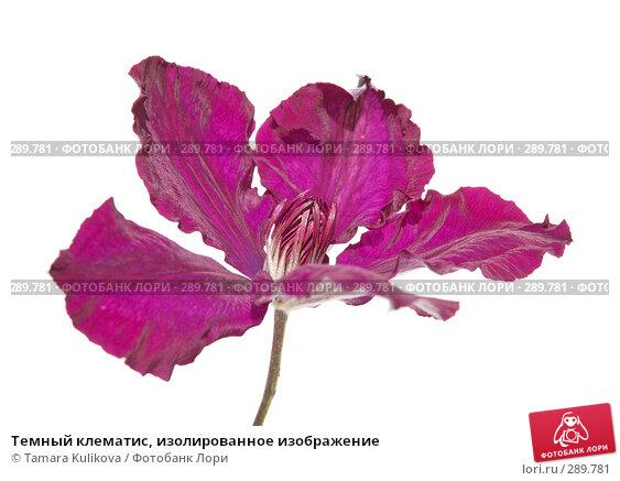 Темный клематис, изолированное изображение, фото № 289781, снято 18 мая 2008 г. (c) Tamara Kulikova / Фотобанк Лори