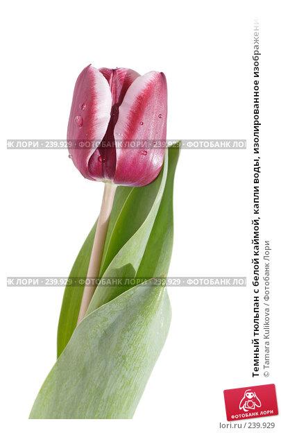 Темный тюльпан с белой каймой, капли воды, изолированное изображение, фото № 239929, снято 31 марта 2008 г. (c) Tamara Kulikova / Фотобанк Лори