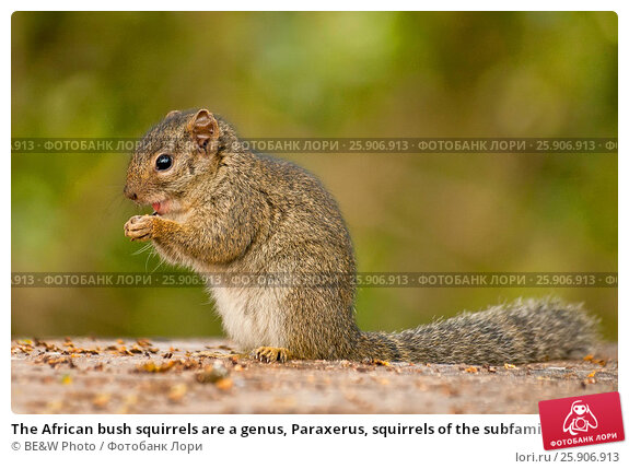 Купить «The African bush squirrels are a genus, Paraxerus, squirrels of the subfamily Xerinae. They are only found in Africa. Aberdare National Park, Kenya», фото № 25906913, снято 21 марта 2019 г. (c) BE&W Photo / Фотобанк Лори