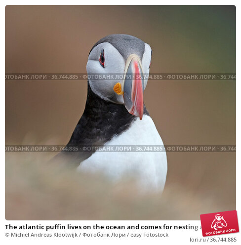 The atlantic puffin lives on the ocean and comes for nesting and breeding... Стоковое фото, фотограф Michiel Andreas Klootwijk / easy Fotostock / Фотобанк Лори