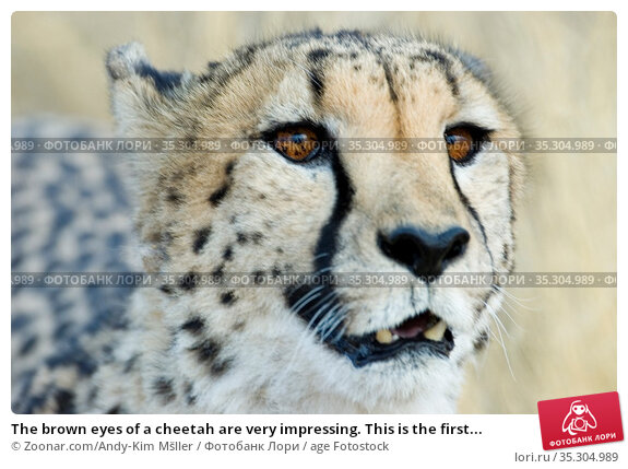 The brown eyes of a cheetah are very impressing. This is the first... Стоковое фото, фотограф Zoonar.com/Andy-Kim Mšller / age Fotostock / Фотобанк Лори