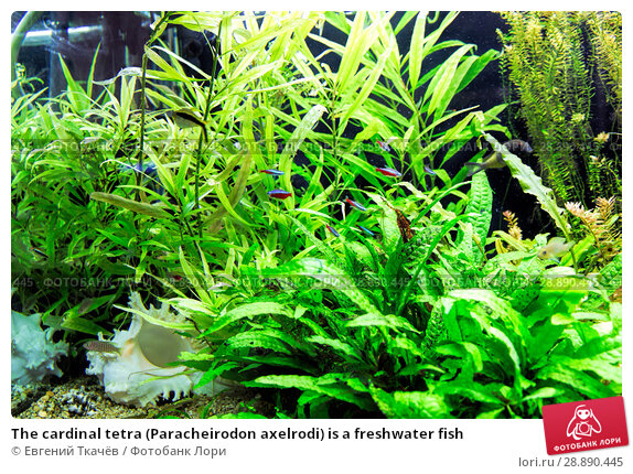 Купить «The cardinal tetra (Paracheirodon axelrodi) is a freshwater fish», фото № 28890445, снято 18 апреля 2016 г. (c) Евгений Ткачёв / Фотобанк Лори