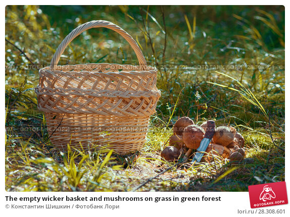 Купить «The empty wicker basket and mushrooms on grass in green forest», фото № 28308601, снято 16 сентября 2017 г. (c) Константин Шишкин / Фотобанк Лори