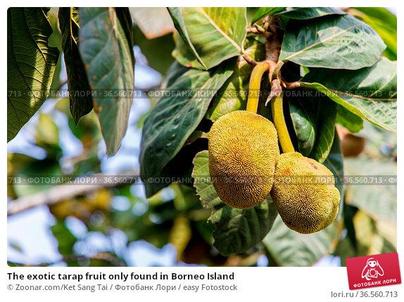The exotic tarap fruit only found in Borneo Island. Стоковое фото, фотограф Zoonar.com/Ket Sang Tai / easy Fotostock / Фотобанк Лори