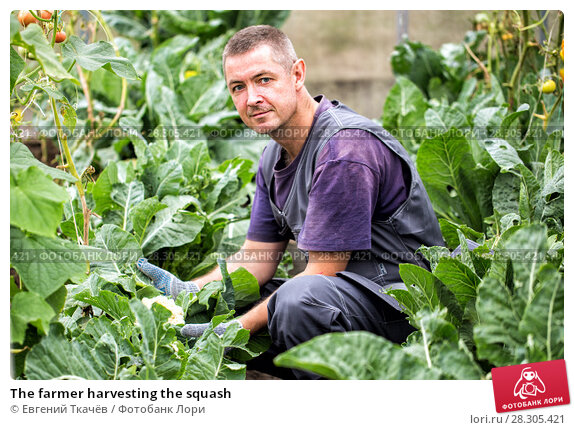Купить «The farmer harvesting the squash», фото № 28305421, снято 28 августа 2016 г. (c) Евгений Ткачёв / Фотобанк Лори