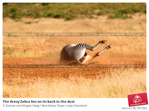 The Grevy Zebra lies on its back in the dust. Стоковое фото, фотограф Zoonar.com/Eugen Haag / easy Fotostock / Фотобанк Лори