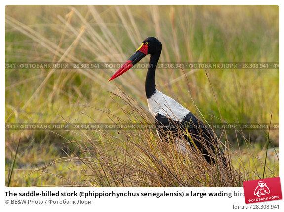 Купить «The saddle-billed stork (Ephippiorhynchus senegalensis) a large wading bird in the stork family, Okavango Delta, Botswana», фото № 28308941, снято 19 апреля 2019 г. (c) BE&W Photo / Фотобанк Лори