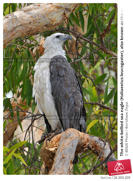 Купить «The white-bellied sea eagle (Haliaeetus leucogaster), also known as the white-breasted sea eagle, is a large diurnal bird of prey in the family Accipitridae, Kakadu National Park Australia», фото № 28309209, снято 20 марта 2019 г. (c) BE&W Photo / Фотобанк Лори