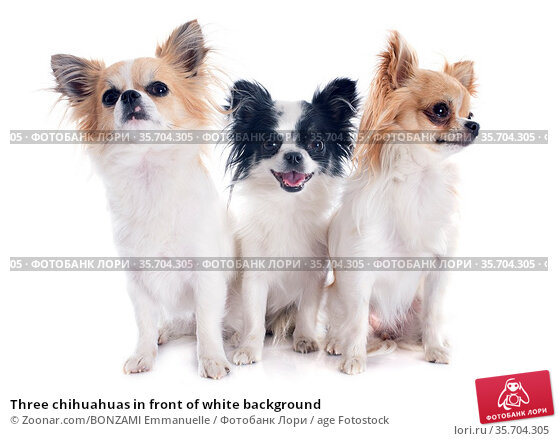 Three chihuahuas in front of white background. Стоковое фото, фотограф Zoonar.com/BONZAMI Emmanuelle / age Fotostock / Фотобанк Лори