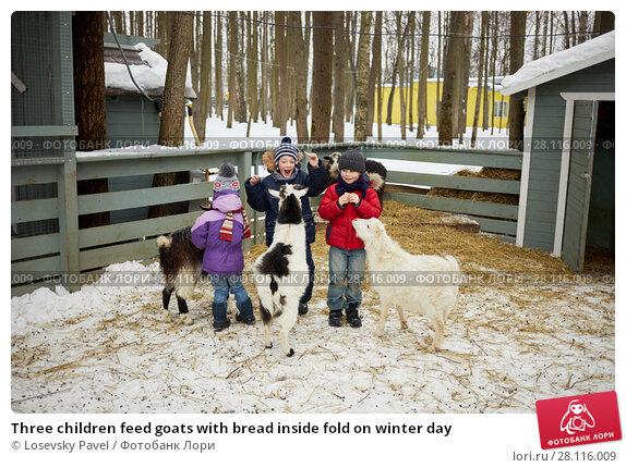 Купить «Three children feed goats with bread inside fold on winter day», фото № 28116009, снято 4 февраля 2017 г. (c) Losevsky Pavel / Фотобанк Лори