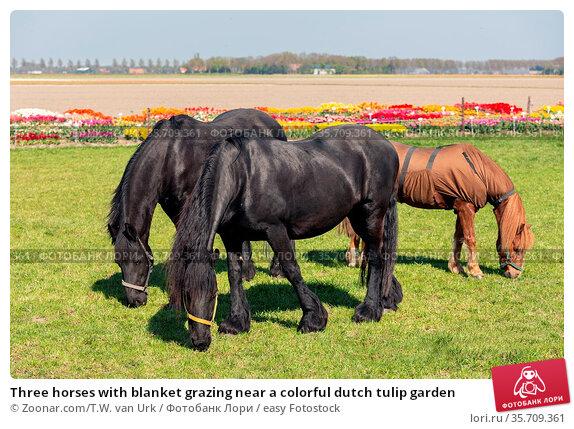 Three horses with blanket grazing near a colorful dutch tulip garden. Стоковое фото, фотограф Zoonar.com/T.W. van Urk / easy Fotostock / Фотобанк Лори
