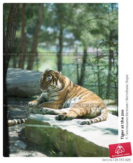 Tiger at the zoo. Стоковое фото, фотограф Типляшина Евгения / Фотобанк Лори