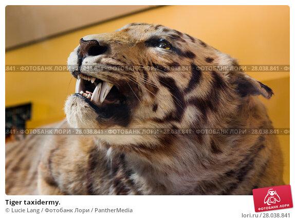 Купить «Tiger taxidermy.», фото № 28038841, снято 18 февраля 2019 г. (c) PantherMedia / Фотобанк Лори