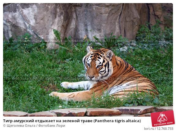 Купить «Тигр амурский отдыхает на зеленой траве (Panthera tigris altaica)», эксклюзивное фото № 12760733, снято 25 сентября 2015 г. (c) Щеголева Ольга / Фотобанк Лори