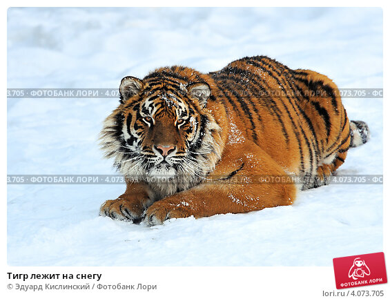 фото тигр лежит на снегу