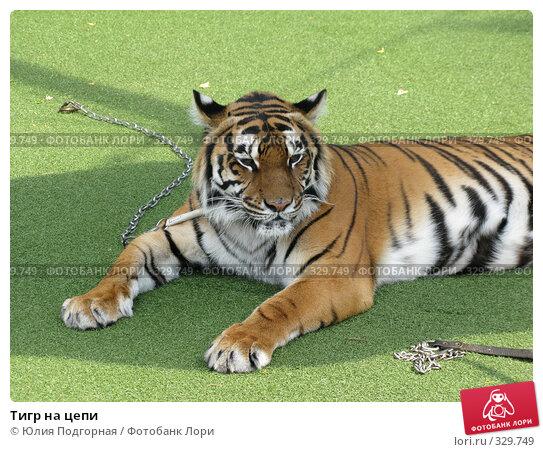 Тигр на цепи, фото № 329749, снято 21 июня 2008 г. (c) Юлия Селезнева / Фотобанк Лори