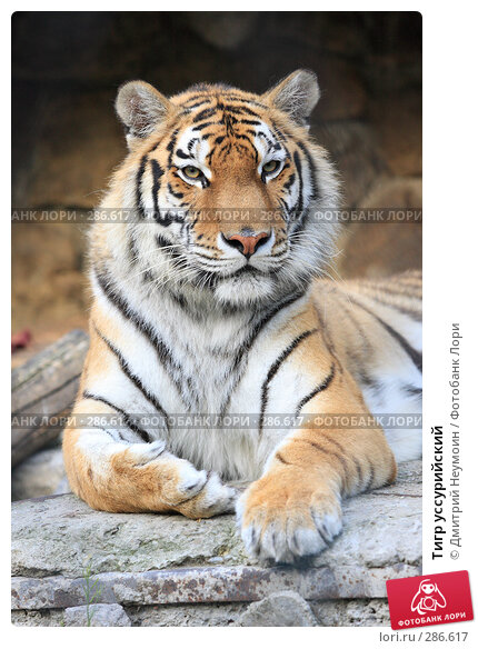 Тигр уссурийский, эксклюзивное фото № 286617, снято 26 апреля 2008 г. (c) Дмитрий Неумоин / Фотобанк Лори