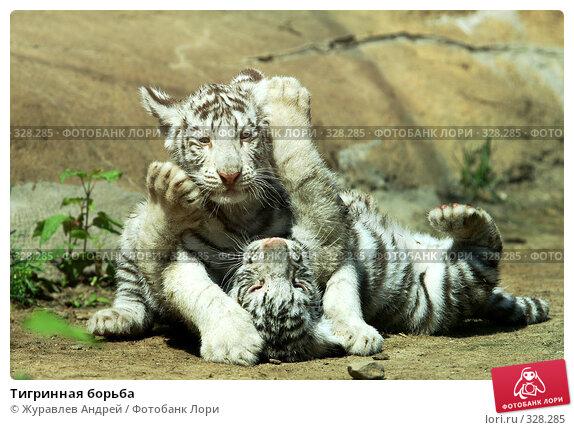 Тигринная борьба, эксклюзивное фото № 328285, снято 18 июня 2008 г. (c) Журавлев Андрей / Фотобанк Лори
