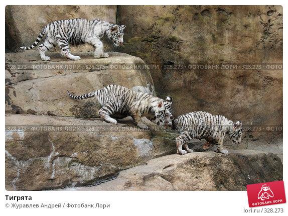 Купить «Тигрята», эксклюзивное фото № 328273, снято 18 июня 2008 г. (c) Журавлев Андрей / Фотобанк Лори