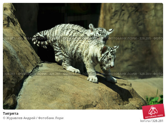 Тигрята, эксклюзивное фото № 328281, снято 18 июня 2008 г. (c) Журавлев Андрей / Фотобанк Лори