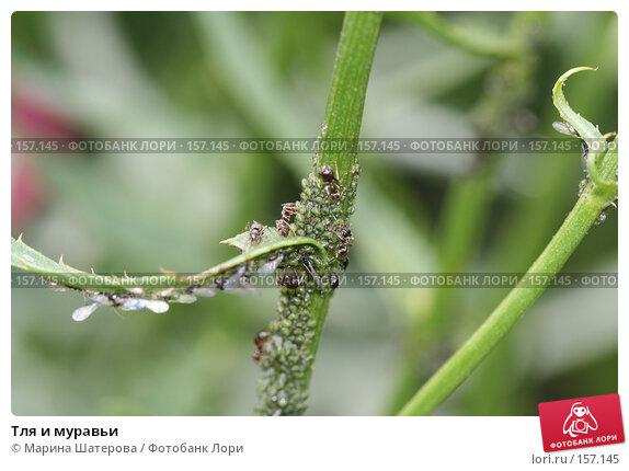 Тля и муравьи, фото № 157145, снято 2 июля 2007 г. (c) Марина Шатерова / Фотобанк Лори