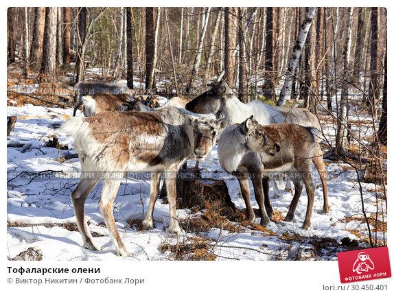 Тофаларские олени. Стоковое фото, фотограф Виктор Никитин / Фотобанк Лори