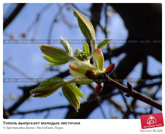 Тополь выпускает молодые листочки, фото № 36229, снято 16 января 2006 г. (c) Артемьева Анна / Фотобанк Лори