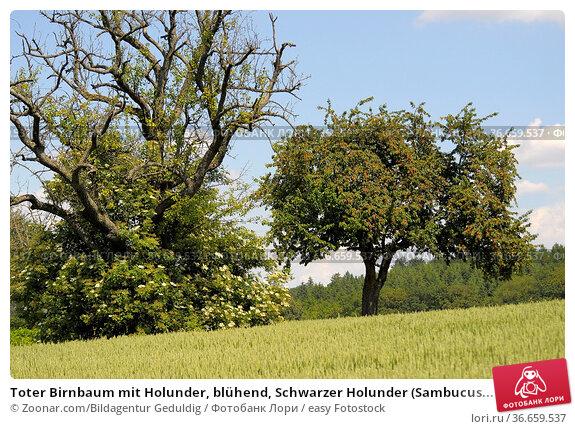 Toter Birnbaum mit Holunder, blühend, Schwarzer Holunder (Sambucus... Стоковое фото, фотограф Zoonar.com/Bildagentur Geduldig / easy Fotostock / Фотобанк Лори