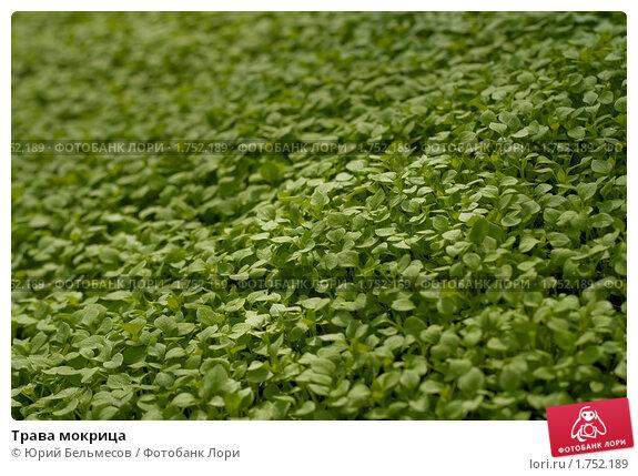 Купить «Трава мокрица», фото № 1752189, снято 26 апреля 2010 г. (c) Юрий Бельмесов / Фотобанк Лори