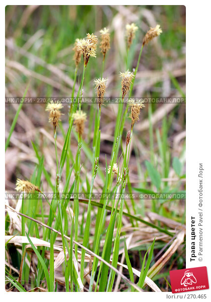 Трава цветет, фото № 270465, снято 2 мая 2008 г. (c) Parmenov Pavel / Фотобанк Лори