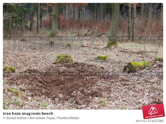 Купить «tree haze snag resin beech», фото № 27623585, снято 26 июня 2019 г. (c) PantherMedia / Фотобанк Лори