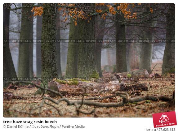 Купить «tree haze snag resin beech», фото № 27623613, снято 26 июня 2019 г. (c) PantherMedia / Фотобанк Лори