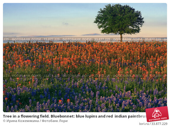 Tree in a flowering field. Bluebonnet: blue lupins and red  indian paintbrush. Texas, USA (2020 год). Стоковое фото, фотограф Ирина Кожемякина / Фотобанк Лори