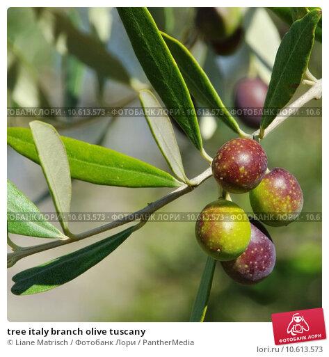 tree italy branch olive tuscany. Стоковое фото, фотограф Liane Matrisch / PantherMedia / Фотобанк Лори