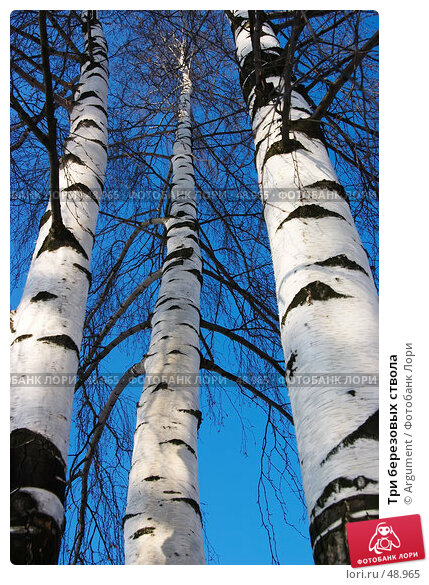 Три березовых ствола, фото № 48965, снято 11 марта 2006 г. (c) Argument / Фотобанк Лори